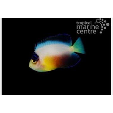 Multicolour Dwarf Angel Fish