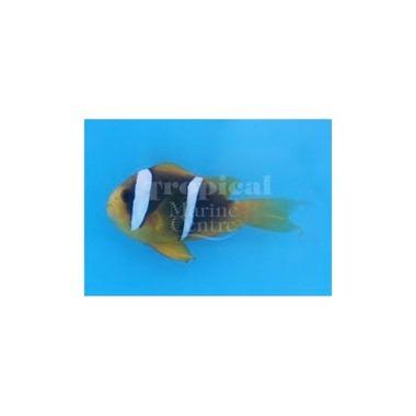 Blue Stripe Clarkii Clownfish
