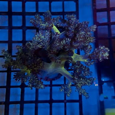 Asparagus Tip Kenya Tree Coral