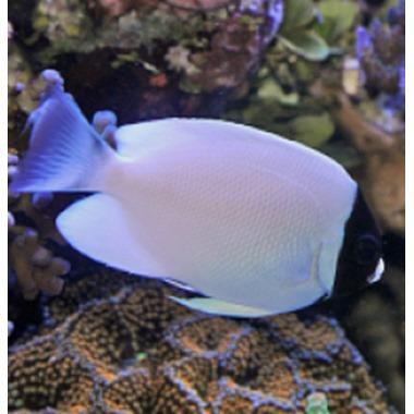 Masked Lyretail Angel Fish