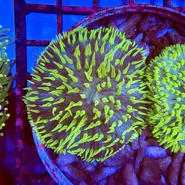 Bicolour Plate Coral