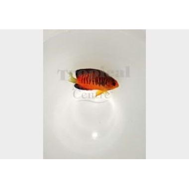 Shepard's Dwarf Angel Fish