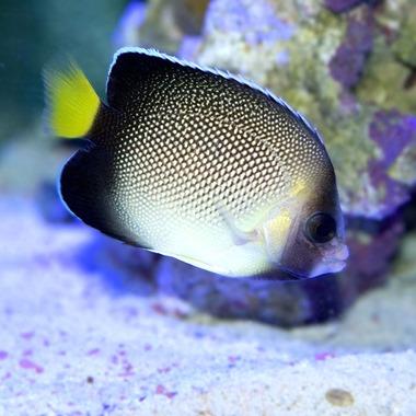 Cream Angel Fish