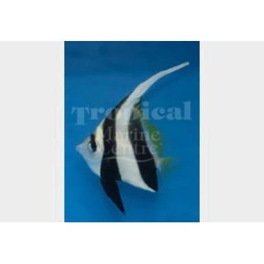 Black and White Bannerfish