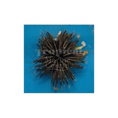 Rock Boring Urchin