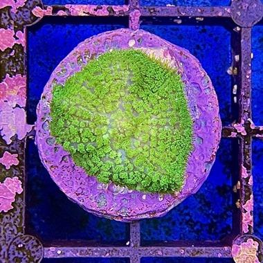 Green Hairy Mushroom
