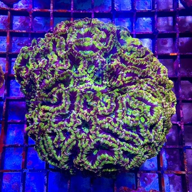Green Acan Colony