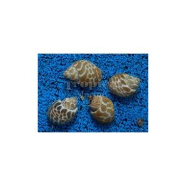 Orange Marble Snail