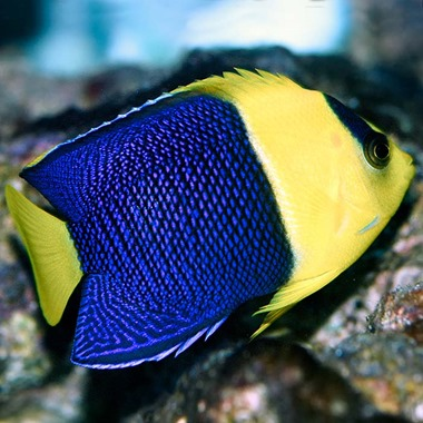 Bicolour Dwarf Angel Fish