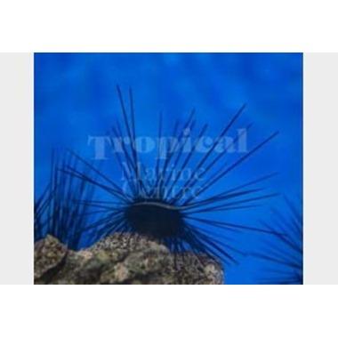 Long Spine Urchin