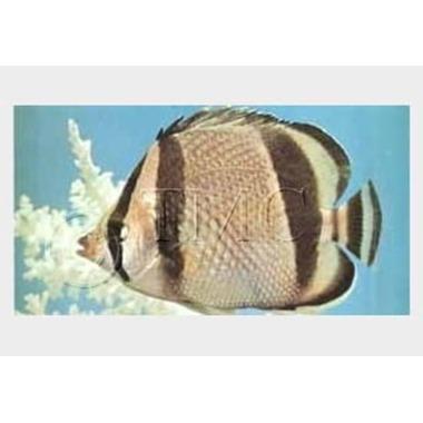 Bandit Butterflyfish