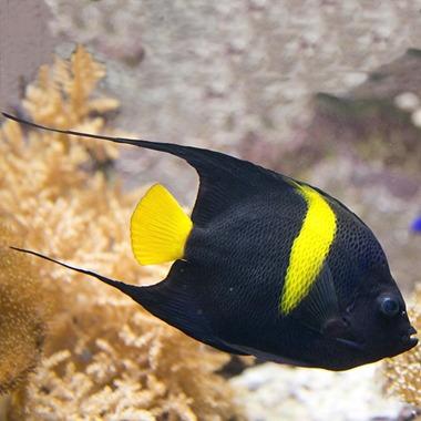 Asfur Angel Fish
