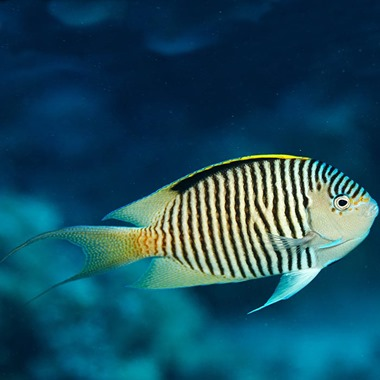 Black Spot Lyretail Angel Fish