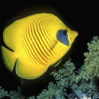 Addis Butterflyfish