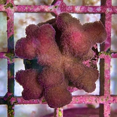 Fiji Pink Stylo Frag