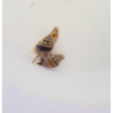 Super Nassarius Snail