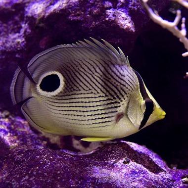 Four Eyed Butterflyfish