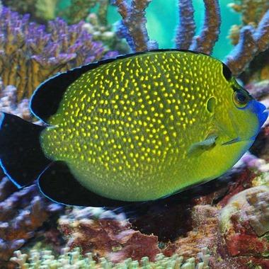 Gold Flake Angel Fish