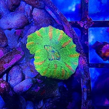Mini Green Gold Stripe� Scoly Coral