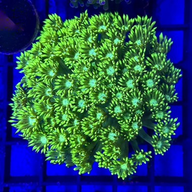 Ultra Green Goniopora
