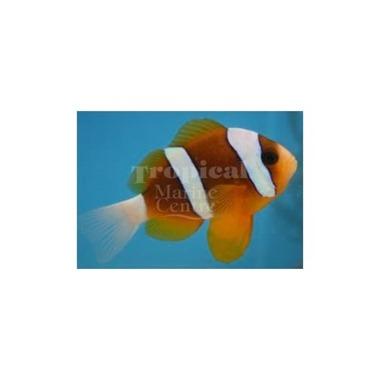 Barrier Reef Clarkii Clownfish