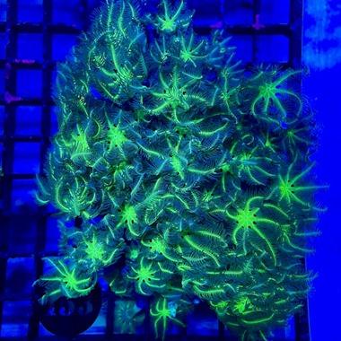 Green Clove Polyp