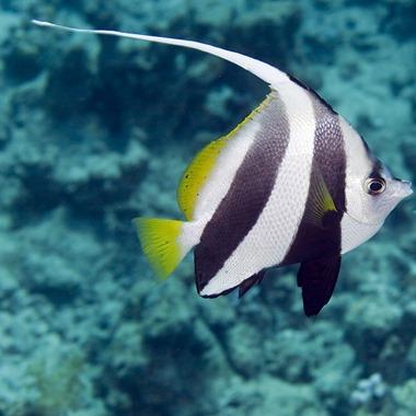 Schooling Bannerfish
