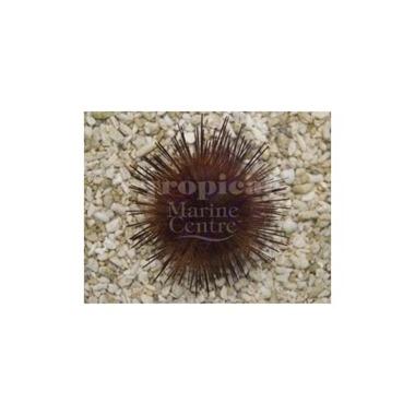 Blue Spot Urchin