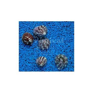 Black Foot Snail