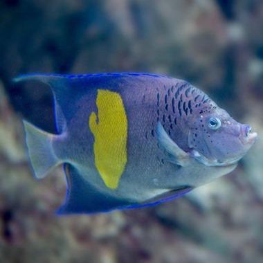 Purple Moon Angel Fish