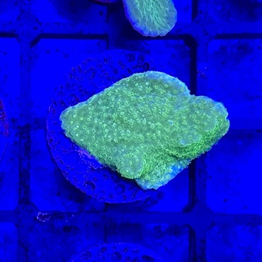 Green Plate Monti Frag
