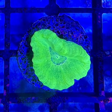 Ultra Green Candy Cane Frags