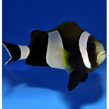 Wide Band Saddleback Clownfish