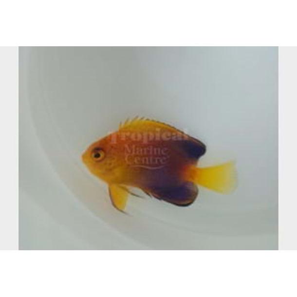 Japanese Dwarf Angel Fish