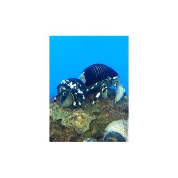 Zebra Hermit Crab