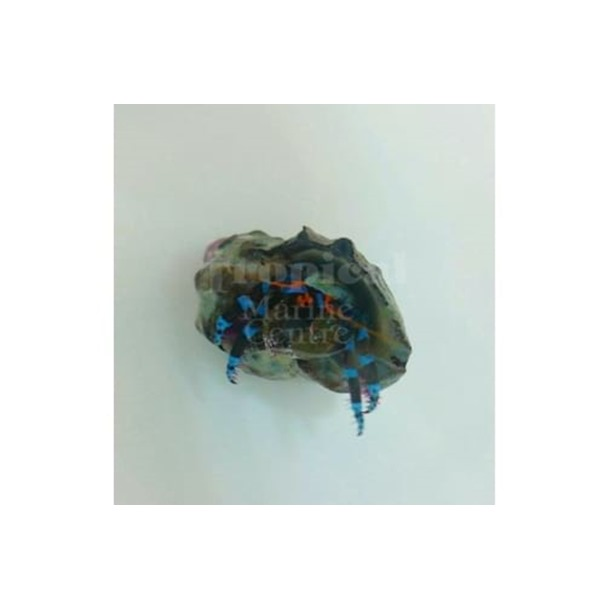 Metallic Blue Leg Hermit Crab