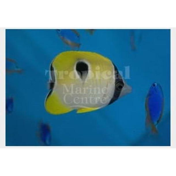 Teardrop Butterflyfish