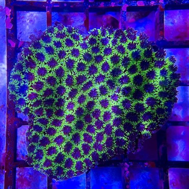 Galaxea Coral