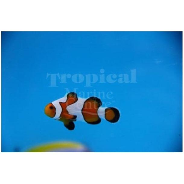 Gladiator Clownfish