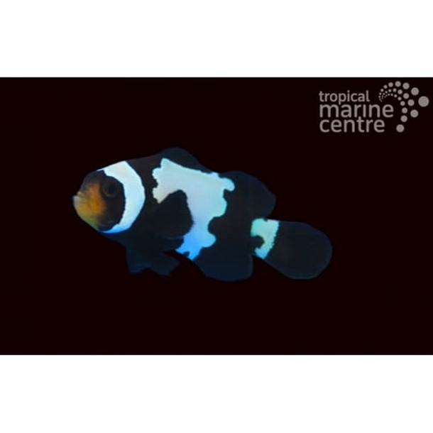 Black Ice Snowflake Clownfish