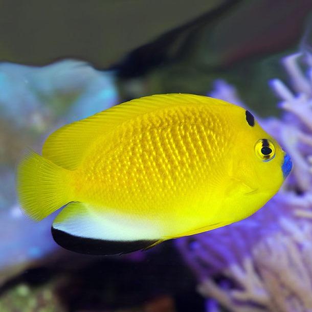 Flag Fin Angel Fish