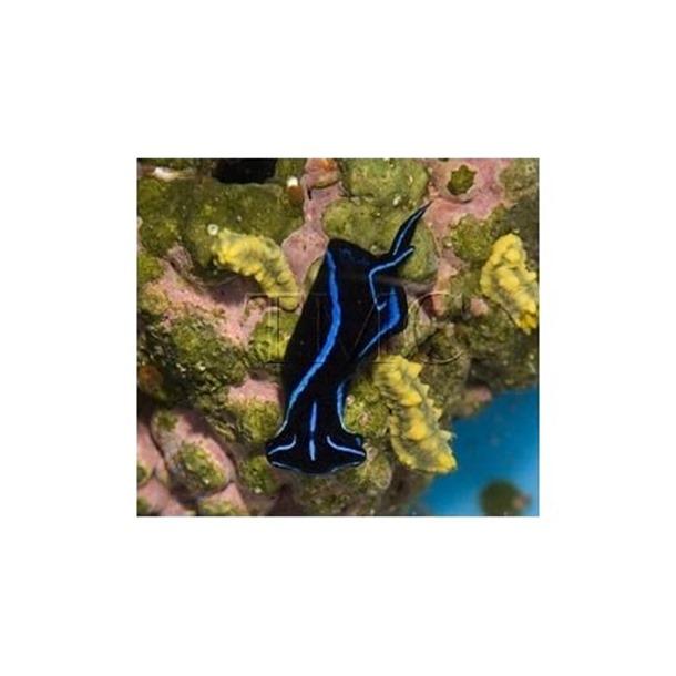 Blue Neon Nudibranch