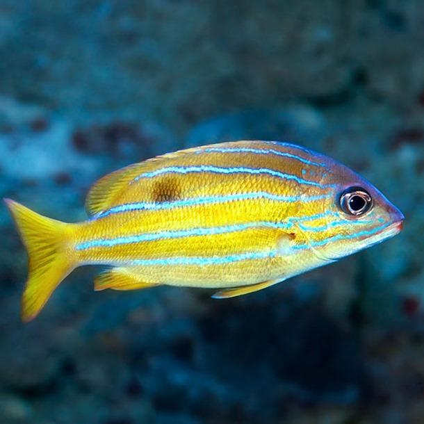 Blue Stripe Snapper