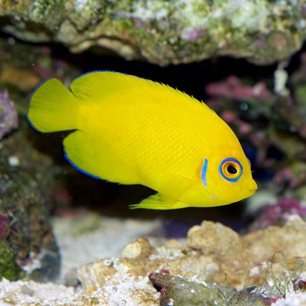Lemonpeel Dwarf Angel Fish