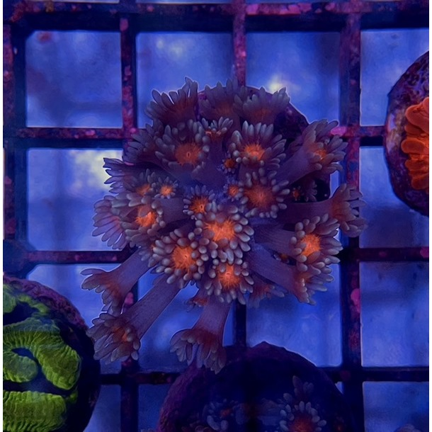 Coco's Island Goniopora Frags