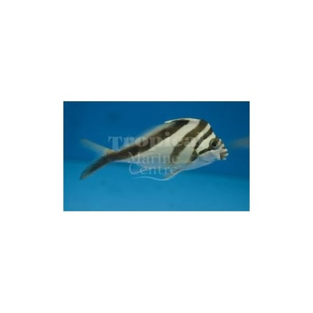 Magpie Morwong