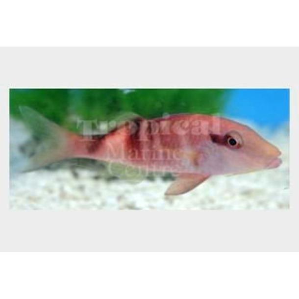 Red Goatfish