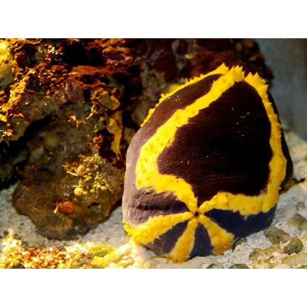 Emperor Sea Apple