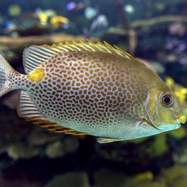 Orange Spot Rabbitfish