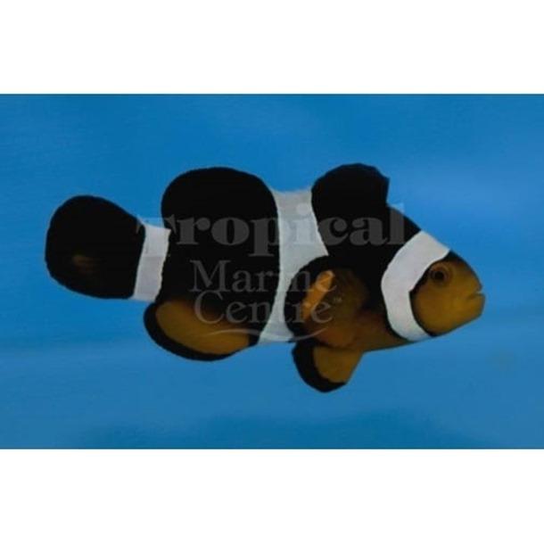 Caramel Clownfish